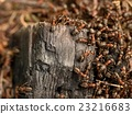 Wild ants build anthill, piece of charred wood. 23216683
