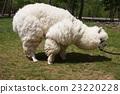 羊駝 駱駝科 草食性 23220228