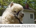 羊駝 駱駝科 草食性 23220231