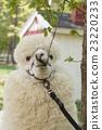 羊駝 駱駝科 草食性 23220233