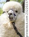 羊駝 駱駝科 草食性 23220237