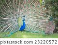孔雀 鳥兒 鳥 23220572