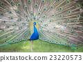 孔雀 鳥兒 鳥 23220573