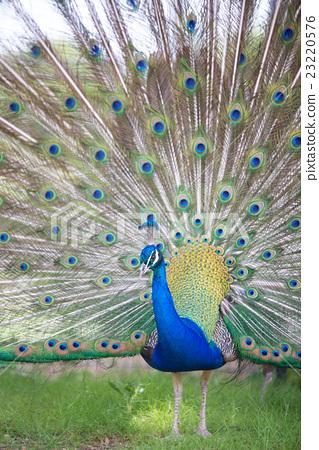 peacock 23220576