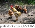 一只鸡 23224365
