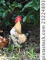 一只鸡 23224893