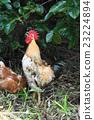 一只鸡 23224894