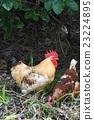 一只鸡 23224895