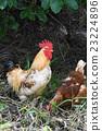 一只鸡 23224896