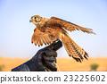 Female Kestrel 23225602
