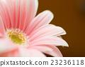 非洲菊 植物人 植物的 23236118