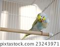 parakeet, lovebird, budgie 23243971