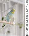 parakeet, lovebird, budgie 23244036