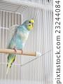 parakeet, lovebird, budgie 23244084