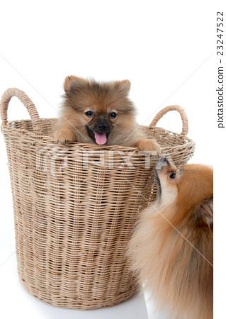pomeranian dog stading in basket isolated  23247522