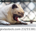 lovely happy white fat cute pug dog on the floor 23255381