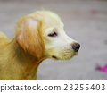 ittle cute long hair puppy dog with scabies skin 23255403