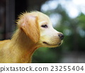 ittle cute long hair puppy dog with scabies skin 23255404