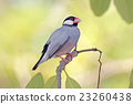 Java sparrow Java finch Birds of Thailand 23260438