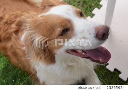 微笑邊境牧羊犬 23265924