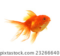 Gold fish Isolation on the white background 23266640