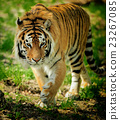 Tiger 23267085