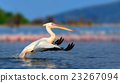 Great white pelican 23267094