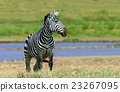 Zebra in National park of Kenya 23267095