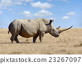 African white rhino 23267097