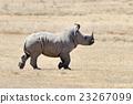 African white rhino 23267099