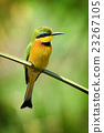 Bee-eater 23267105