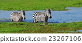 Zebra on grassland in Africa 23267106