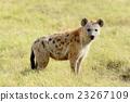 Hyena 23267109
