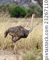 African ostrich (Struthio camelus) 23267110