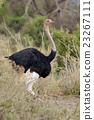 African ostrich (Struthio camelus) 23267111