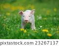 Piglet 23267137