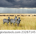 zebra, animal, wildlife 23267145