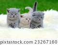 Three kitten on white blanket 23267160