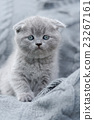 Little kitten on gray cloth 23267161