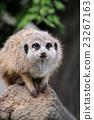 Close meerkat on branch 23267163