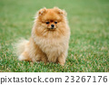 Brown pomeranian dog 23267176
