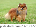 Brown Pomeranian dog 23267177