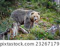 Brown bear in the forest 23267179