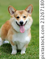 Welsh Corgi dog 23267180