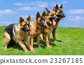 German Shepherd dog 23267185