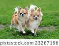 Two Longhair Chihuahua dog 23267196