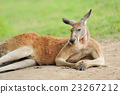 Kangaroo 23267212