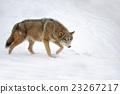 Wolf 23267217