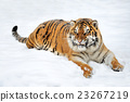Tiger 23267219