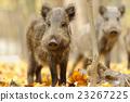 Wild boar 23267225